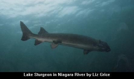 Niagara rive sturgeon for Niagara river fishing report